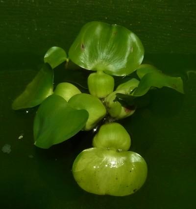 画像1: 浮草 めだか産卵にホテイアオイ 3株 (1)