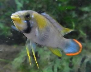 画像1: Apパンドリニ 若親魚ペアーLサイズ (1)