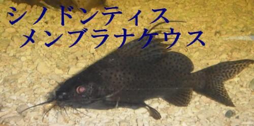 画像1: シノドンティス    グッドサイズ (1)