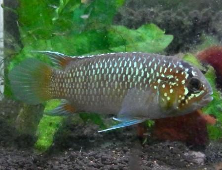 画像1: 大型親 アドケタ・ トゥッカーノ 幼魚 10から15ミリ前後 5匹セット (1)