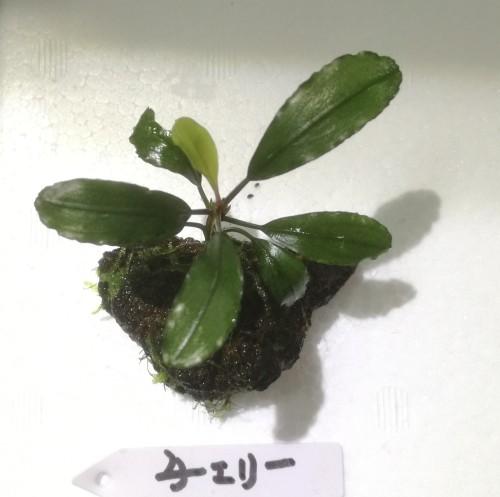 画像1: Bucephalandra sp チェリー石付き水中苗 (1)