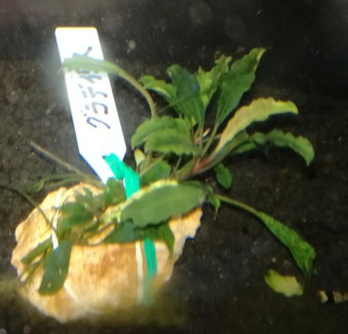 画像1: Bucephalandra sp クラディス (1)