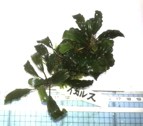 画像1: Bucephalandra sp イカリス (1)