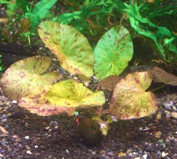 画像1: タイガーロータスグリーン葉茎苗(球無) (1)