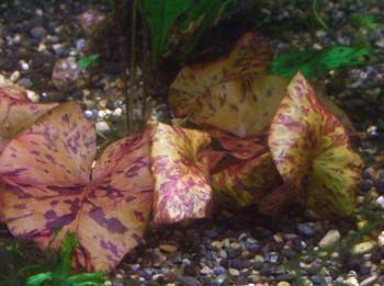 画像1: タイガーロータスレッド 葉付き球根 (1)