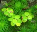 画像1: 浮き草 アマゾンフロッグビット 6苗セット (1)